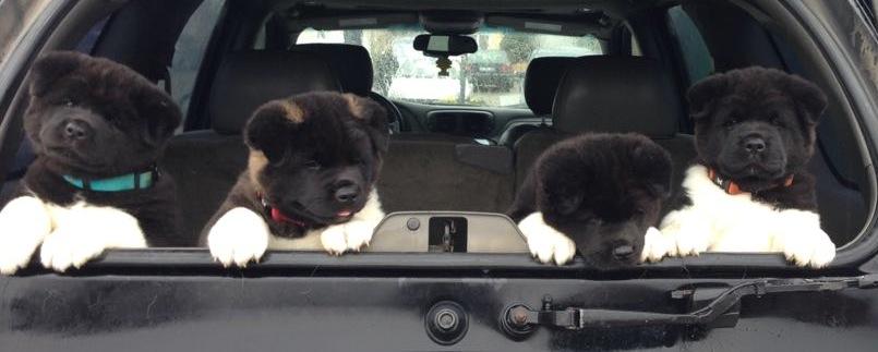 Emmener son chien en voiture